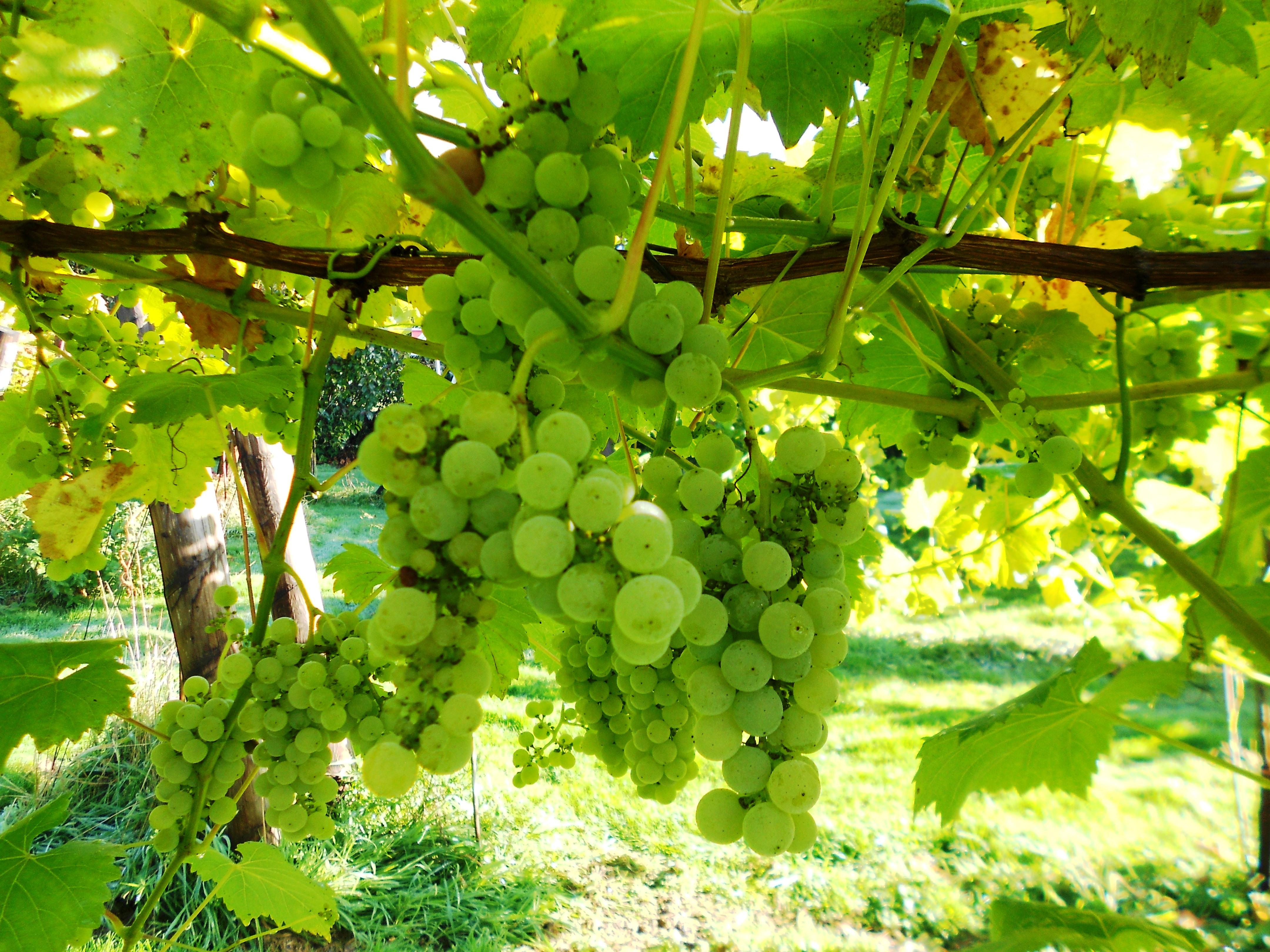 UK grape varieties grown in leicestershire