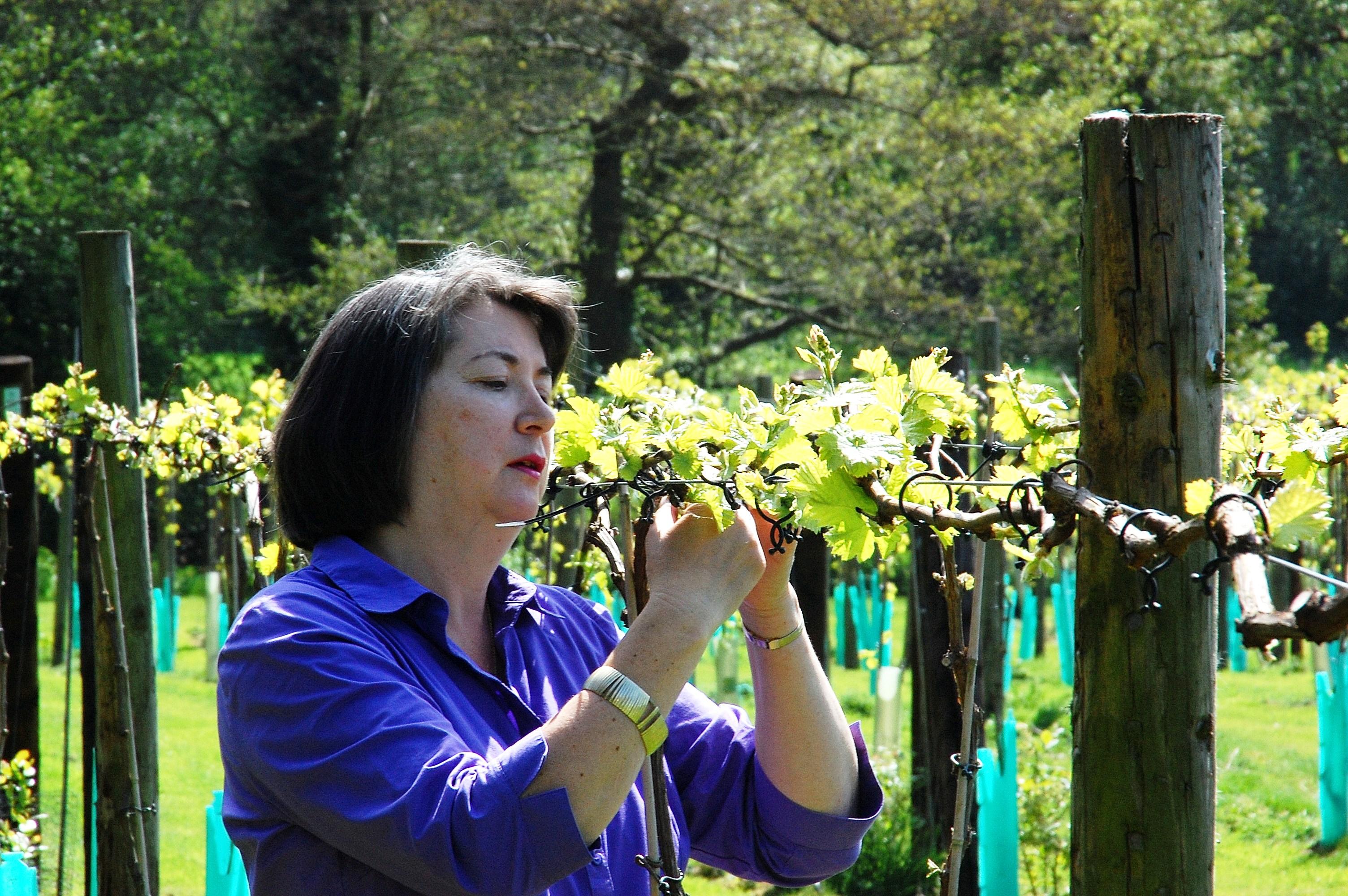 quality testing grapes for award winning uk wine